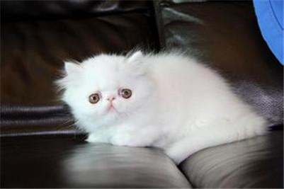 白色波斯猫多少钱?白色波斯猫的价格及选购方法